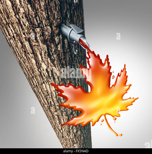 Maple sap flowing concept as a sweet tree liquid dripping  drops of syrup shaped as a maple leaf as a northern spring - Stock Image
