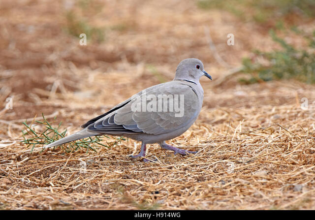 Collared dove walks on the ground - Stock Image