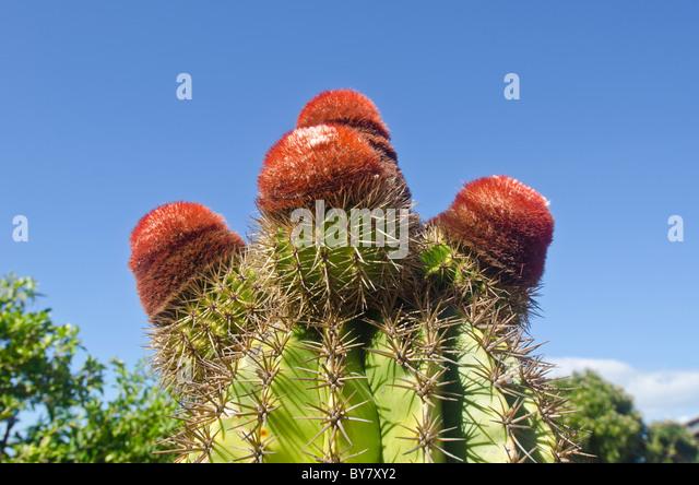 turks head cactus with red fez caps on Caribbean Island of Antigua - Stock Image