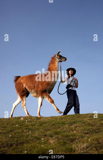 Gerlardine Hill leads her Llama on hilltop - Stock Image