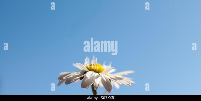 Daisy in spring - Stock Image