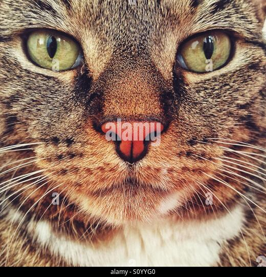 Pet tabby cat portrait. - Stock Image
