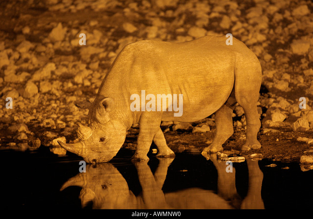 Black Rhino Diceros bicornis drinking at Night - Stock Image
