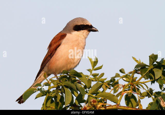Red-backed Shrike (Lanius collurio), male on the perch, Middle Elbe Biosphere Reserve, Saxony-Anhalt, Germany - Stock Image