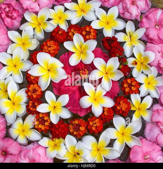 Resort Moevenpick Spa, Frangipani flowers, Mauritius, Africa - Stock Image