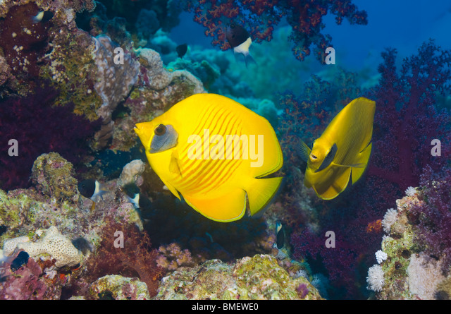 Golden butterflyfish on coral reef.  Egypt, Red Sea. - Stock Image