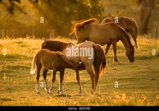 Baby Horse Feeding - Stock Image