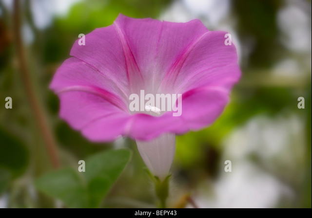 Morning glory, purple flower, purple, white, stamen, flower, flowers, creeper, close-up, close up, macro - Stock Image