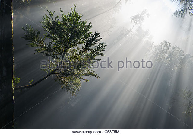 Morning mist and sunbeams through Reunion island's cryptomeria forest symbolizing photosynthesis - Stock-Bilder