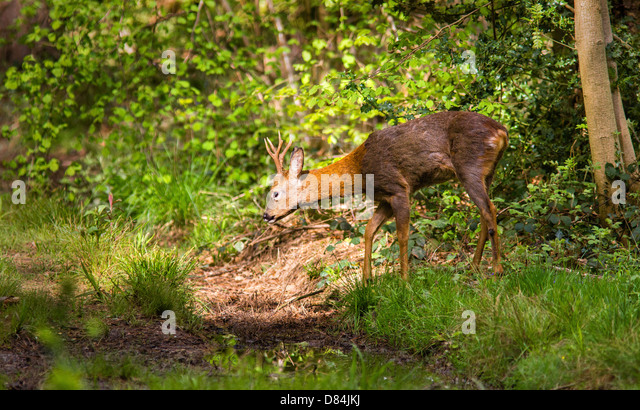 Young buck Roe deer Capreolus capreolus entering a patch of sunlight in Leigh Woods Bristol - Stock Image