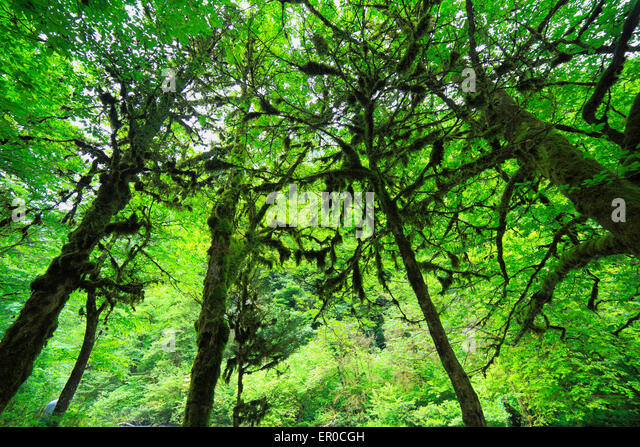 forest green tree moss Caucasus mountains, Abkhazia, Georgia - Stock Image