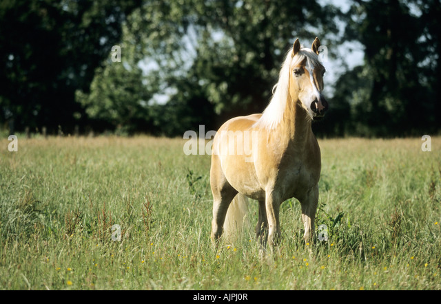 a Haflinger horse on a meadow - Stock Image