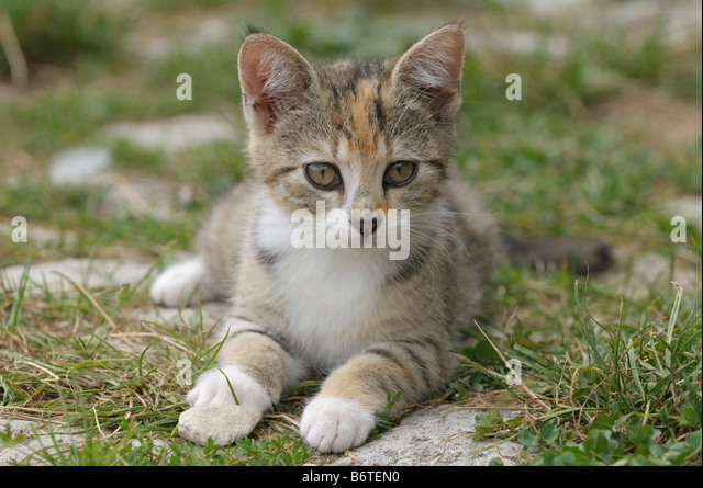 Young domestic cat - Stock Image