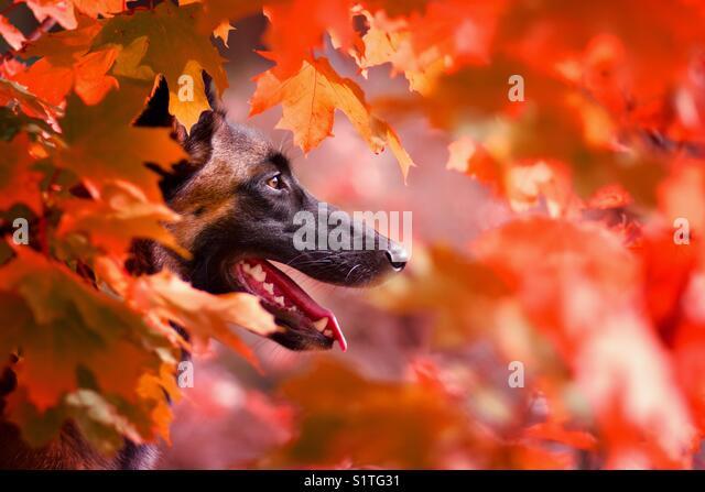 Belgian shepherd the dog is looking in autumn photo in orange tones - Stock Image