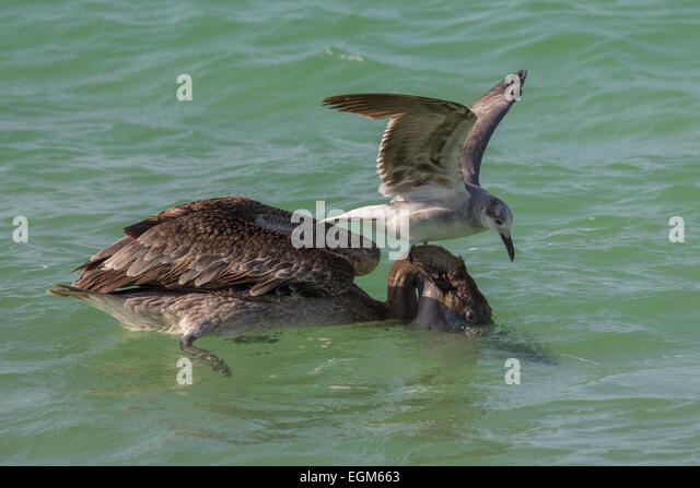 Brown pelican and gull scavenging - Stock-Bilder