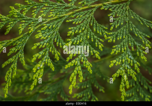 Early foliage of what is believed to by a Cypress tree (not fully identified but perhaps Chamaecyparis obtusa). - Stock Image