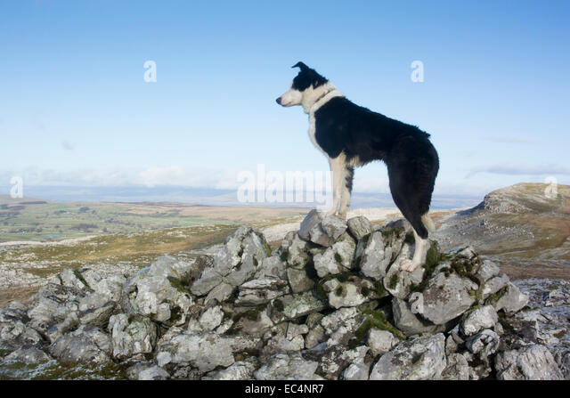 Border Collie sheep dog on rocky moorland, Cumbria, UK - Stock Image