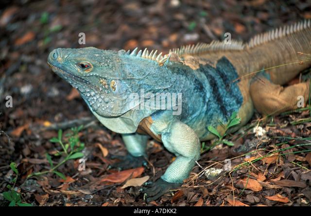 Grand Cayman blue iguana protrait - Stock Image