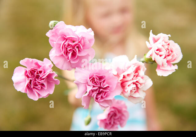 Pink Carnations Flowers - Stock Image
