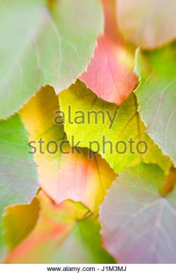 VITIS COIGNETIAE - AUTUMN LEAVES - Stock Image