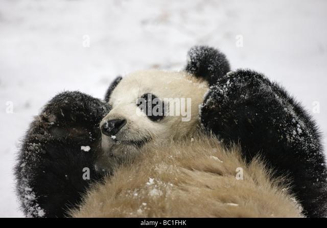 Giant panda cub sleeping on snow Wolong Sichuan China - Stock Image