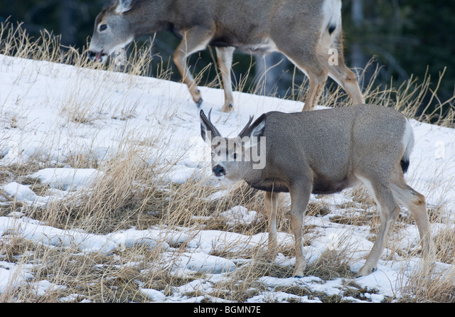 A mule deer buck foraging along a snow covered hillside - Stock-Bilder