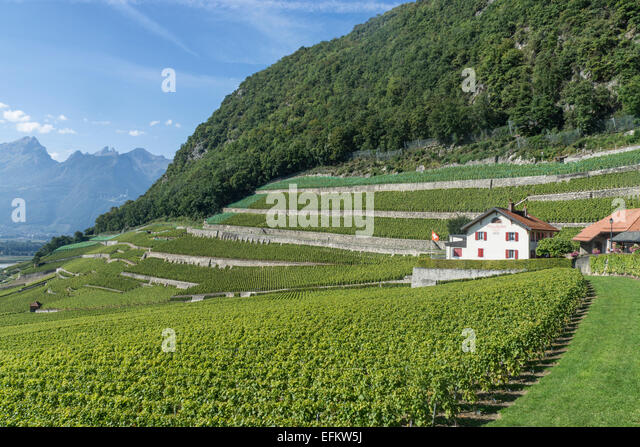 Close de Rocher Vineyards , Yvorne,  Lavaux region, Lake Geneva, Swiss Alps,  Switzerland - Stock Image