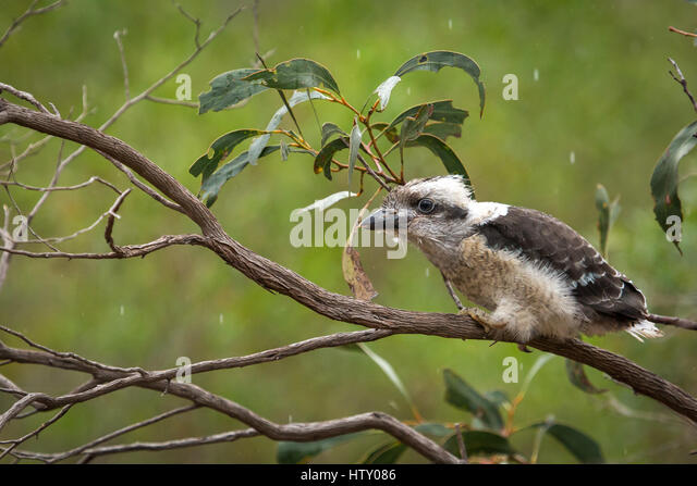 Laughing Kookaburra - Australia - Stock Image