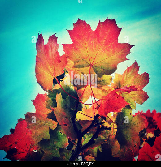 Multi-colored autumn leaves against blue sky - Stock Image