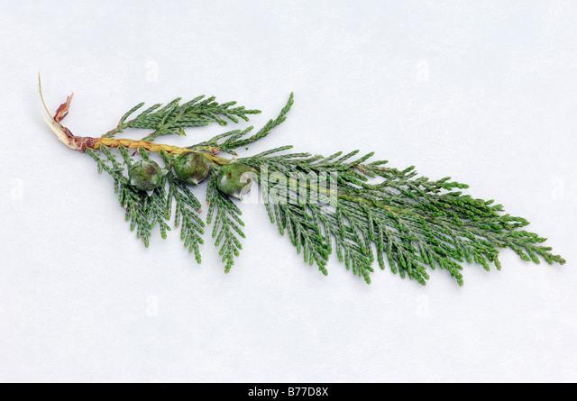 Port-Orford-Cedar (Chamaecyparis lawsoniana), twig with cones - Stock Image