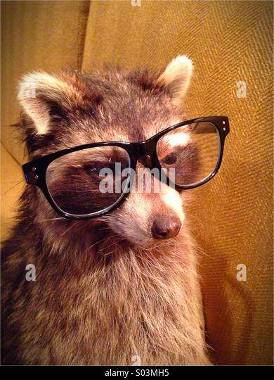 A raccoon wearing glasses. - Stock Image