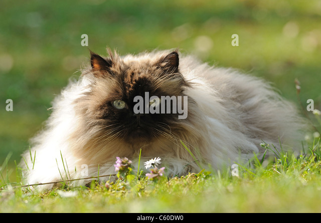 Domestic Cat, Persian Cat (Felis silvestris, Felis catus), adult female lying on a lawn. - Stock Image
