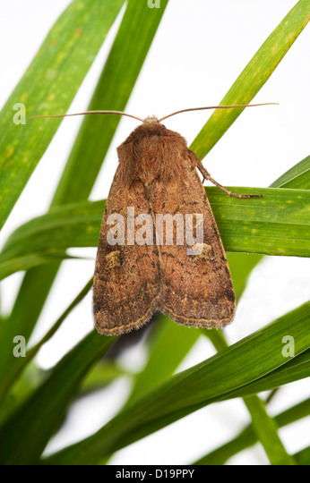 Turnip cutworm, Agrotis segetum, moth - Stock Image