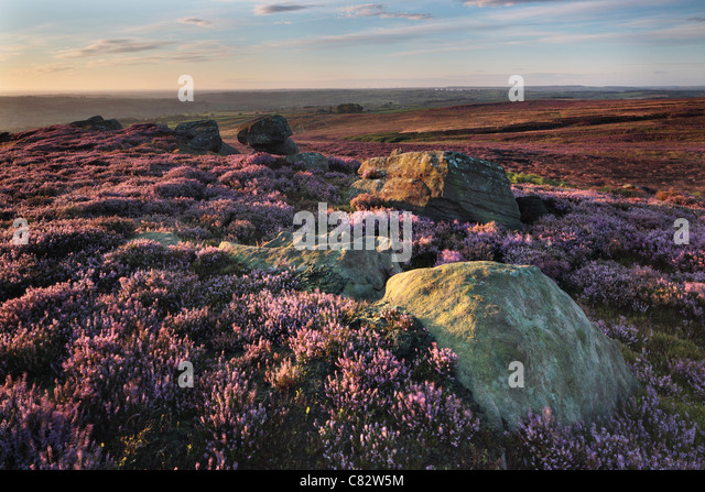 Limestone rocks amidst purple summer heather as seen from High Crag Ridge near Glasshouses and Pateley Bridge in - Stock Image