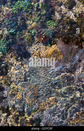Closeup of Zoanthids on the rocks in the inter-tidal zone in the vicinity of Xai Xai, Mozambique - Stock Image
