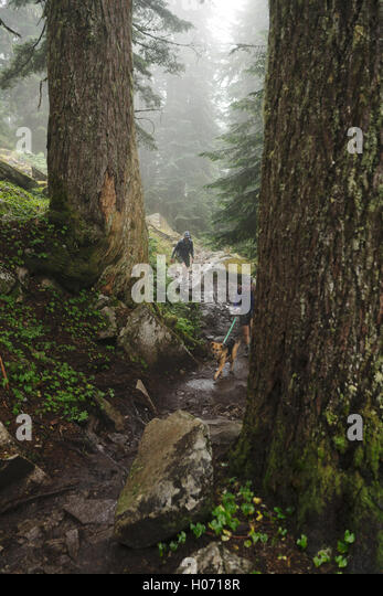 Hikers trek through the forest in Mount Pilchuck State Park near Seattle, Washington - Stock Image