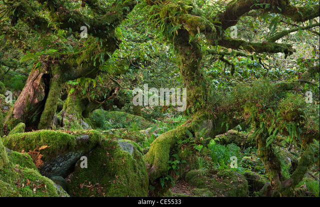 Wistman's Wood National Nature Reserve in Dartmoor, Devon, England. Autumn (October) 2011. - Stock Image