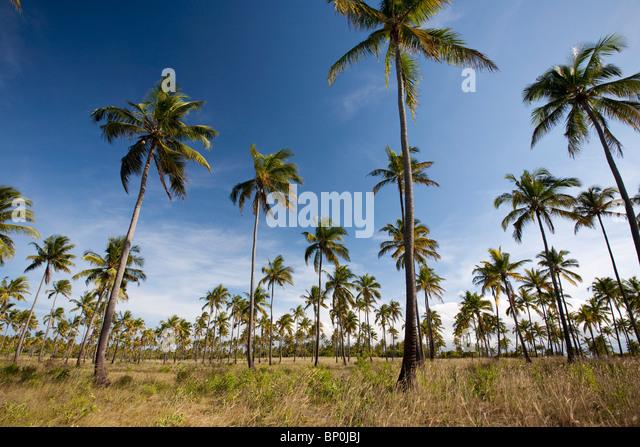 Mozambique, Tofo. Coconut plantations around Tofo. - Stock Image