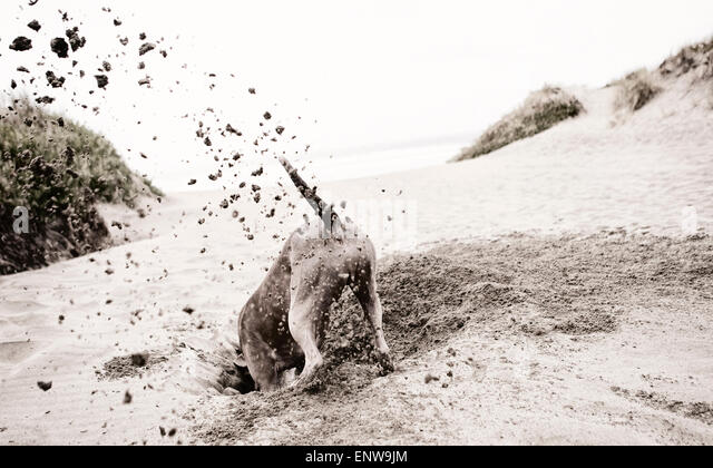 Active happy large dog digging furiously at beach with sand flying and head in huge hole - Stock Image