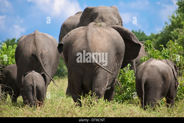 Rear view of elephants walking in national park - Stock Image