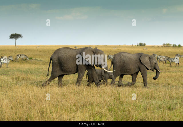 African Bush Elephant (Loxodonta africana), group with newborn calf wandering landscape with stormy sky - Stock Image