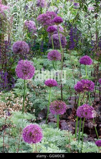 Underplanting- Alliums underplanted with Artemisia- - (Please credit: Photos Hort/Leeds City Council Parks)   MIW25358 - Stock Image