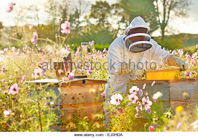 Beekeeper removing frame from beehive in field full of flowers - Stock-Bilder