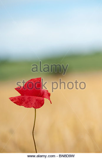 Field poppy, papaver rhoeas  in amongst barley in a field in the English countryside - Stock Image