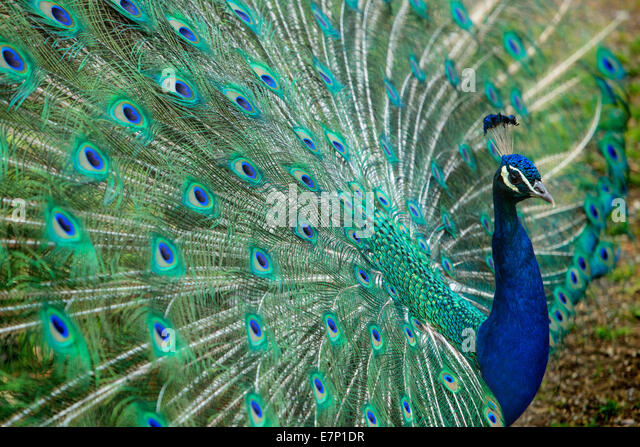 Animals, peacock, zoo Zurich, animals, animal, Zurich, zoo, Switzerland, Europe, - Stock Image