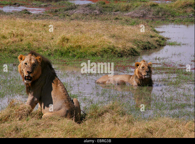lion (Panthera leo), lions cooling down in the water, Kenya, Amboseli National Park - Stock Image