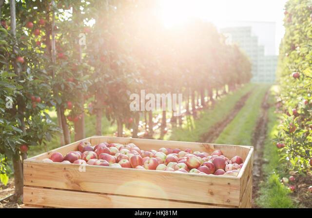 Red apples in bin in sunny orchard - Stock-Bilder