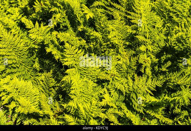 Swathe of fern fronds at Sissinghurst Gardens, Kent, UK - Stock Image
