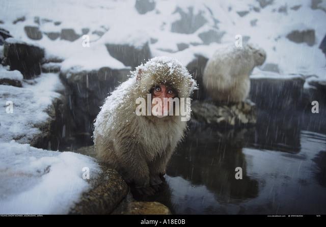 Snow monkey Jigokudani National Park Japan - Stock Image