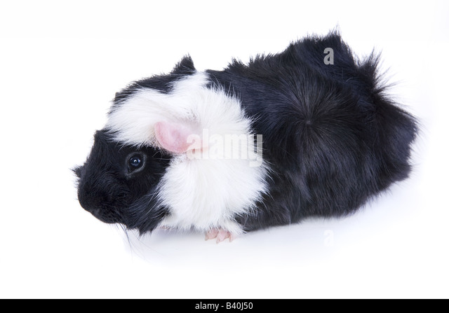 Cute Black and white Abyssinian Guinea pig or Cavy isolated on white background - Stock Image
